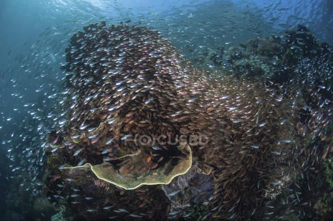 Riff von Kehrbesen und Kardinalfischen bedeckt — Stockfoto