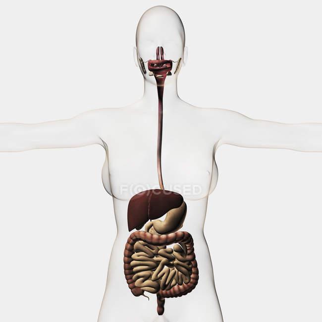 Ilustración médica del sistema digestivo - foto de stock