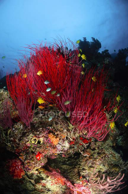 Море батогами і м'яких коралів — стокове фото