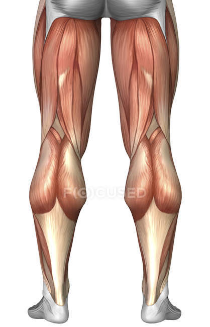 Diagram Illustrating Muscle Groups On Back Of Human Legs Stock
