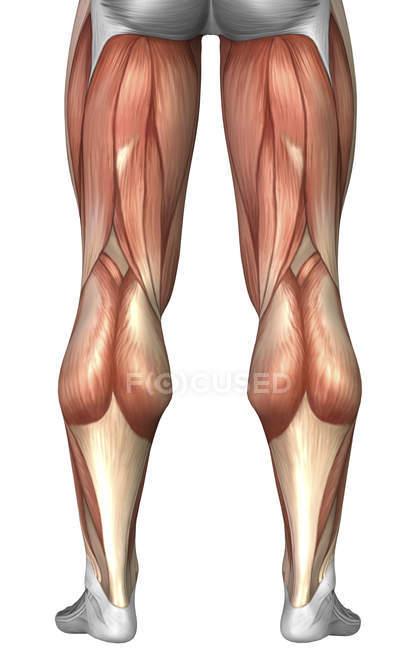 Діаграма відношення групи м'язів на задній поверхні ноги людини — Stock Photo