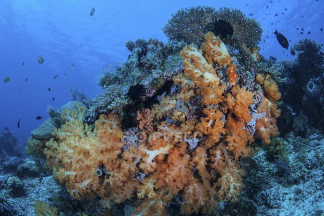 Colonias de coral blando en arrecife - foto de stock