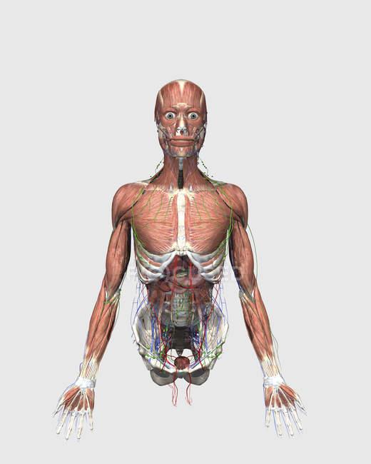 Ilustración médica del torso humano superior con músculos, sistema linfático y órganos digestivos - foto de stock