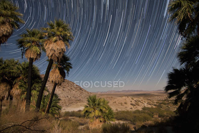California fan palms and mesquite grove — Stock Photo