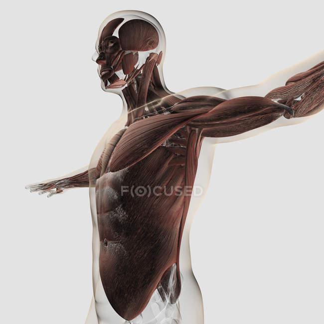 Anatomie des muscles masculins dans le haut du corps — Photo de stock