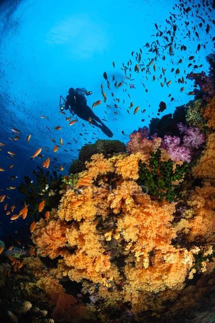Subacqueo nuotare sopra morbida barriera corallina — Foto stock
