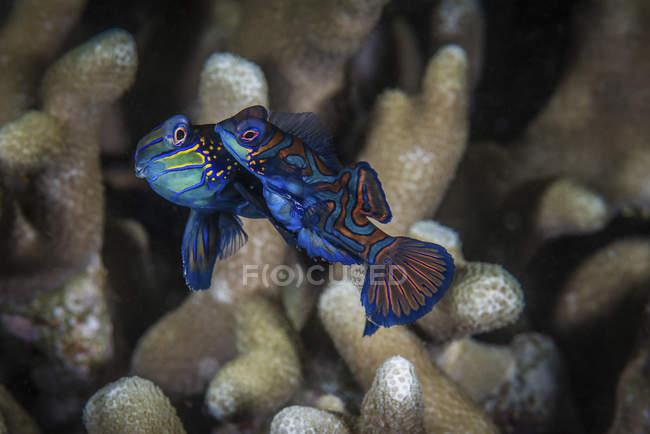Dos peces mandarín nadando sobre el coral - foto de stock