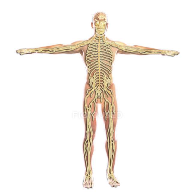 Медичні ілюстрація людини нервової системи — стокове фото