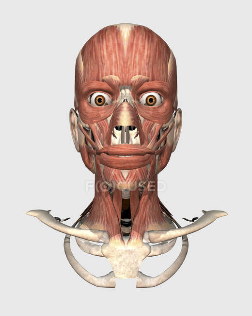 Medical illustration human head with bones and muscles — Stock Photo