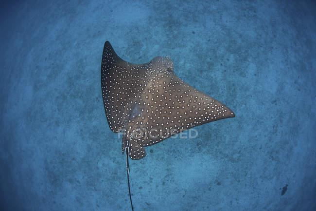 Aquila maculata che nuota sopra fondale sabbioso vicino all'isola di Cocos, Costa Rica — Foto stock