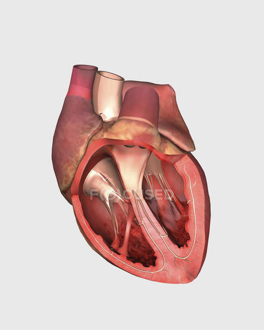 Heart cutout view with pulmonary valve, mitral valve and tricuspid — Stock Photo