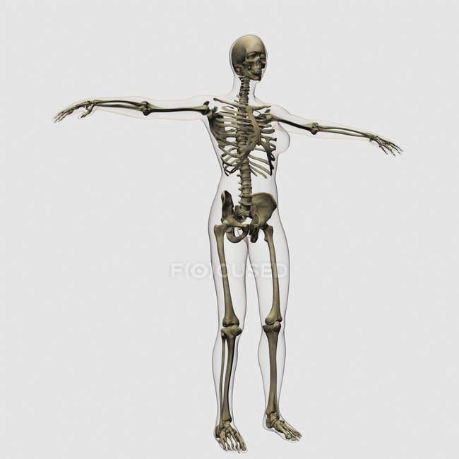 Ilustración médica del esqueleto femenino completo sobre fondo blanco - foto de stock