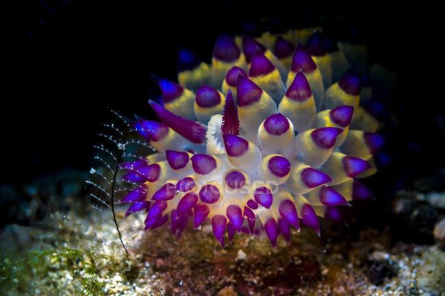Janolus savinkini nudibranche — Photo de stock