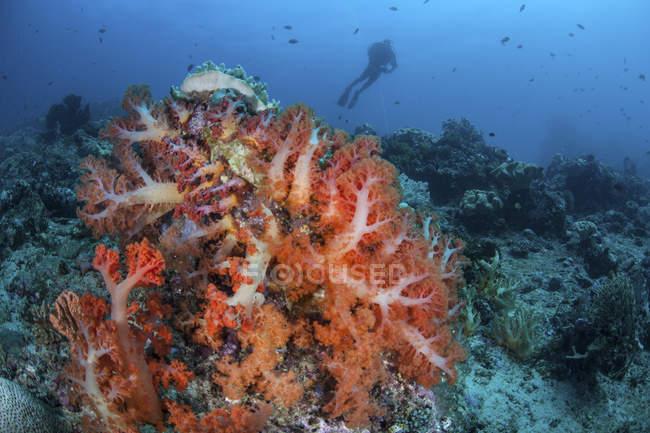 Vibrantes colonias de coral suave en el arrecife en el estrecho de Lembeh con buzo en el fondo - foto de stock