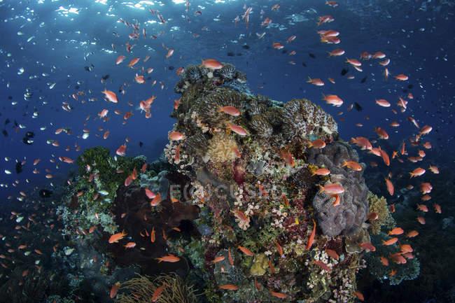 Bunte Fische schwimmen über Riff — Stockfoto