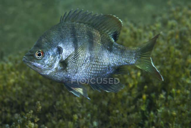 Bluegill flotando sobre fondo verde - foto de stock