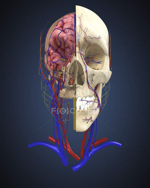 Human skull with brain and circulatory system — Stock Photo