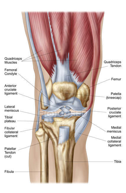 Anatomy Of Human Knee Joint With Labels Stock Photo 174717380