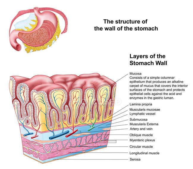 Anatomia della struttura e degli strati della parete dello stomaco — Foto stock