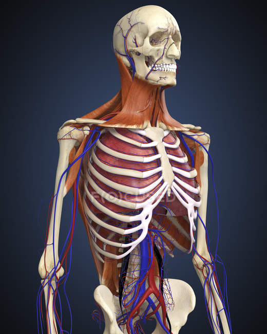 Human upper body with bones lungs and circulatory system stock human upper body with bones lungs and circulatory system stock photo ccuart Image collections