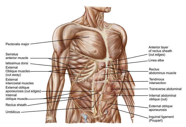 Anatomia dei muscoli addominali umani con etichette — Foto stock