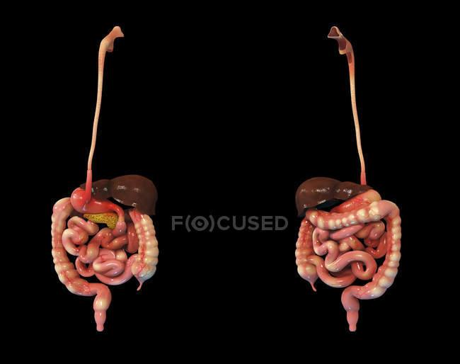 Representación 3D del sistema digestivo humano sobre fondo negro - foto de stock