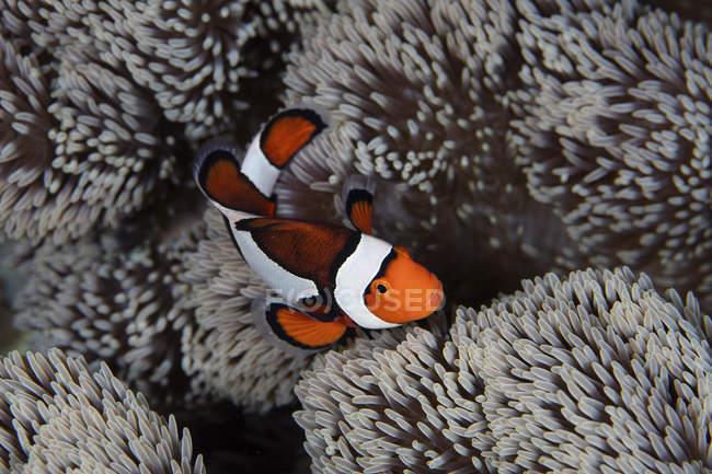 Clownfische schwimmen zwischen Anemonentententententakeln — Stockfoto