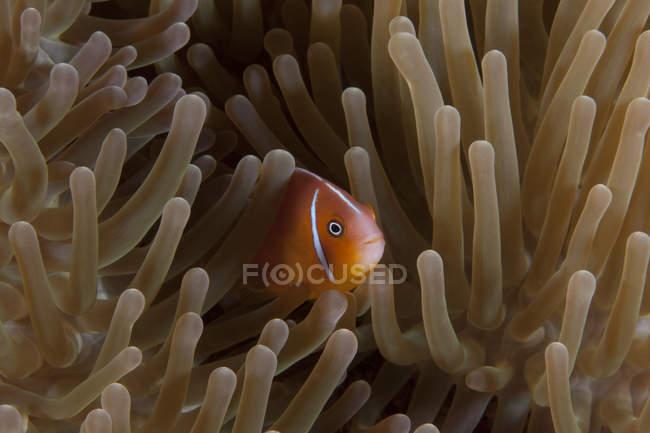 Anémona rosa en la anémona huésped, Fiji - foto de stock