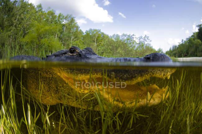 Alligatore in crosta sopra e sotto l'acqua — Foto stock