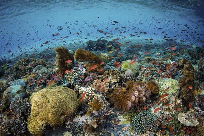 Bunte Fische schwimmen über Korallen — Stockfoto