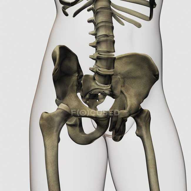 Three dimensional view of human pelvic bones — Stock Photo