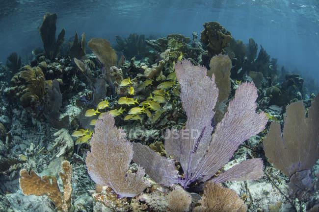 Coloridos gorgonianos en aguas poco profundas - foto de stock