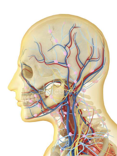 Rosto e pescoço humanos com sistemas nervoso, linfático e circulatório — Fotografia de Stock