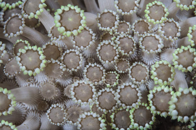 Pólipos de coral en el estrecho de Lembeh - foto de stock