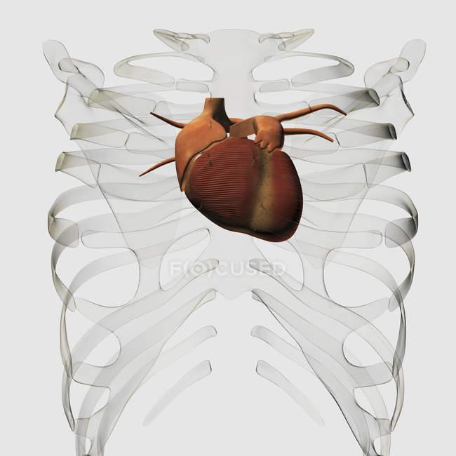 Ilustración médica del corazón humano y la caja torácica - foto de stock