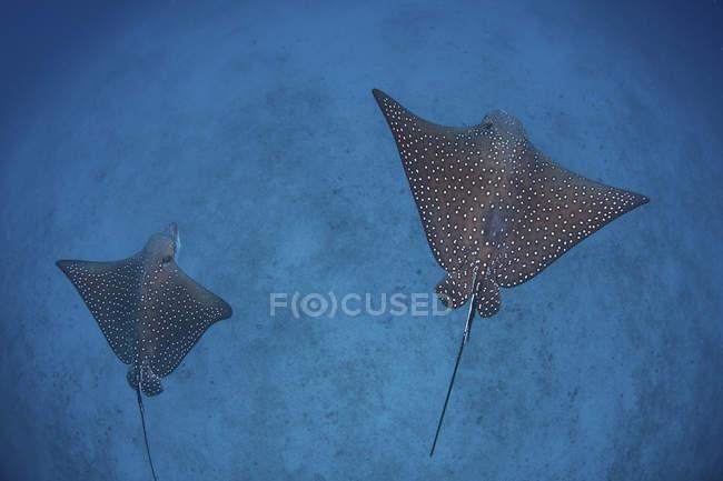 Coppia di raggi d'aquila macchiati che nuotano sopra fondale sabbioso vicino all'isola di Cocos, Costa Rica — Foto stock