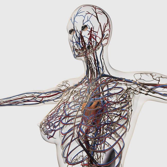 Ilustración médica de arterias, venas y sistema linfático con corazón - foto de stock