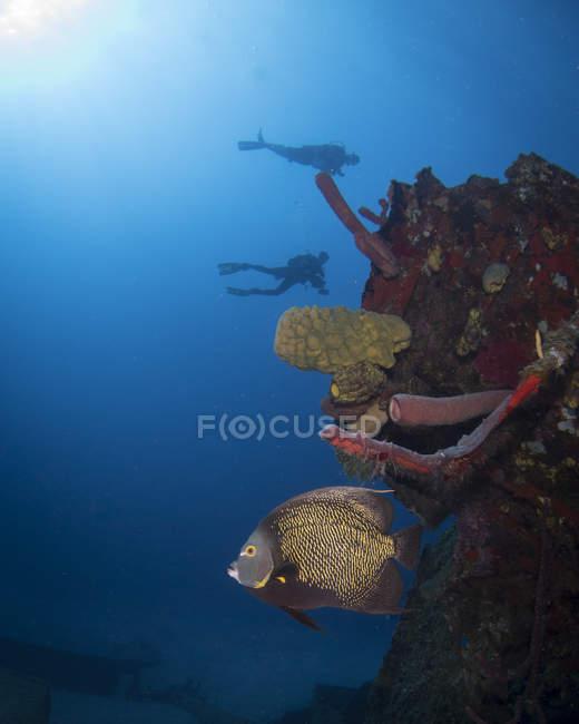 Pez ángel francés en el naufragio de El Águila - foto de stock
