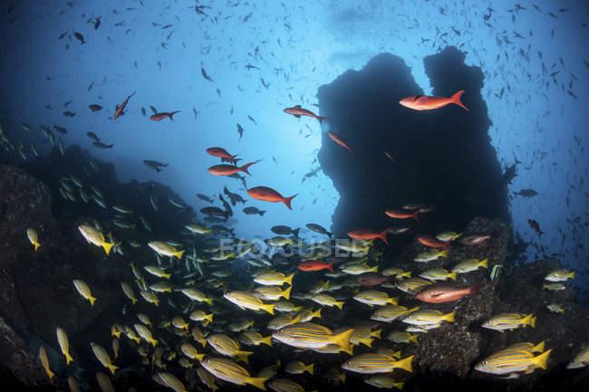Fischschwärme auf felsigem Riff in der Nähe der Kokosinsel Costa Rica — Stockfoto