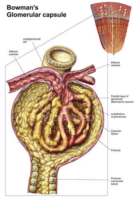 Anatomía de la cápsula glomerular de Bowman - foto de stock
