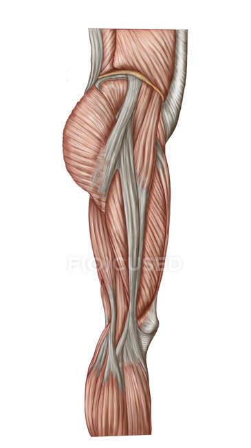 Анатомия мышц бедра человека — стоковое фото