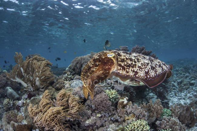 Broadclub sepia nadando sobre el arrecife - foto de stock