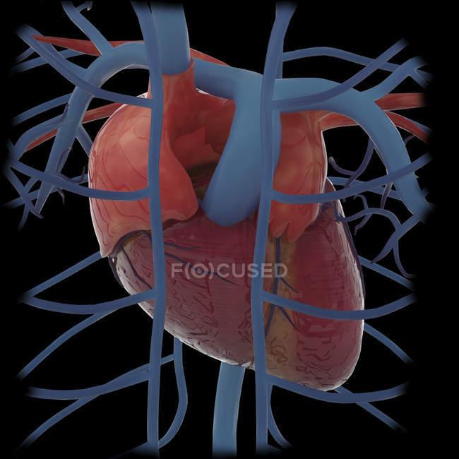 Representación 3D del corazón humano y las venas torácicas - foto de stock