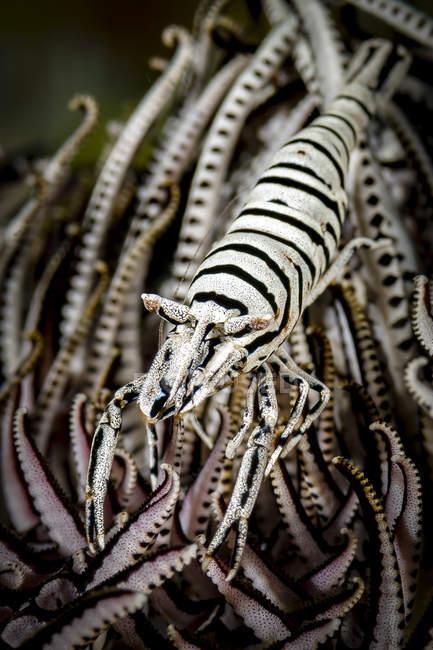 Crinoïde crevettes gros plan — Photo de stock