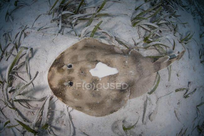 Raggio elettrico caraibico adagiato sul fondo marino — Foto stock