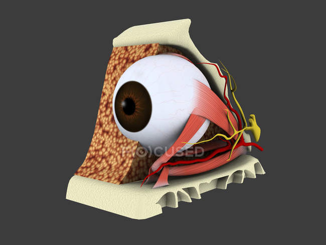 Medical illustration of human eye anatomy — Stock Photo