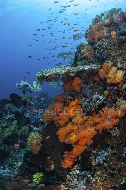 Corales blandos y duros en el arrecife - foto de stock
