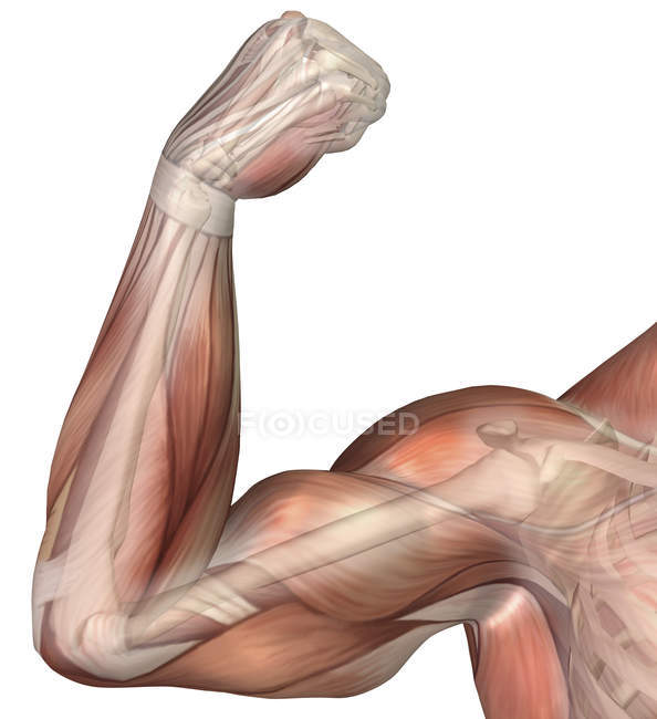 Illustration of a flexed arm showing human bicep muscle — Stock ...
