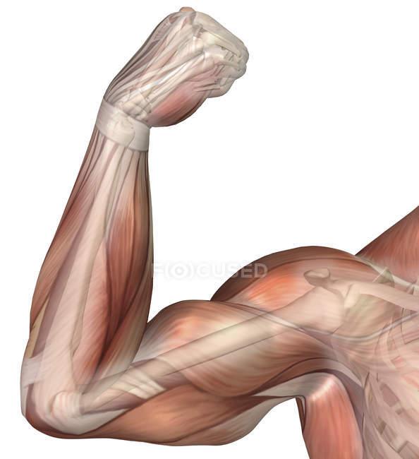 Иллюстрация сгибающейся руки с бицепсной мышцей человека — стоковое фото