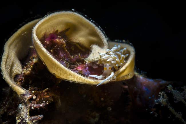 Cratena nudibranch sur les œufs — Photo de stock